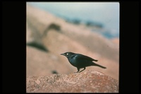 : Euphagus cyanocephalus; Brewer's Blackbird