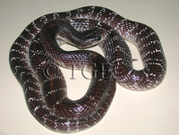 : Bungarus caeruleus; Indian Krait