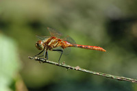 : Sympetrum pallipes; Striped Meadowhawk