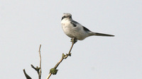 Great Grey Shrike Lanius excubitor