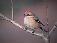 때까치 Lanius bucephalus | bull-headed shrike