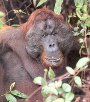 picture of an adult  Bornean orang-utan