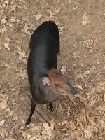 Image of: Cephalophus silvicultor (yellow-backed duiker)