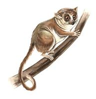 Image of: Microcebus murinus (gray mouse lemur)