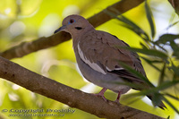 Zenaida asiatica - White-winged Dove