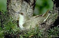 Image of: Coccyzus erythopthalmus (black-billed cuckoo)