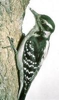 Image of: Picoides villosus (hairy woodpecker)