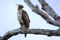 Image of: Spizaetus cirrhatus (changeable hawk-eagle)