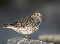Purple Sandpiper (Calidris maritima) photo