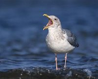 Vega (East Siberian) Gull (Larus vegae) photo