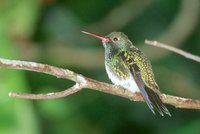Glittering-throated Emerald - Polyerata fimbriata
