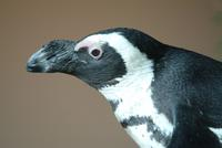 African Penguin (adult)
