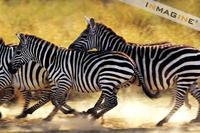 Zebra running (Equus burchelli) photo