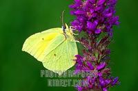Brimstone ( Gonepteryx rhamni ) , fam . Pieridae , on purple loosestrife blossom stock photo