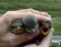 Nestlings of greybacked shrike Lanius tephronotus