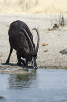 : Hippotragus niger; Sable Antelope