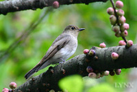Blue and White Flycatcher female 白腹鶲
