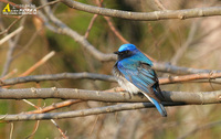 Fig. 22  Blue-and-white Flycatcher : 큰유리새