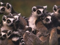 photograph of ring-tailed lemurs: Lemur catta