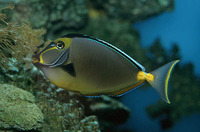 Naso lituratus, Orangespine unicornfish: fisheries, aquarium