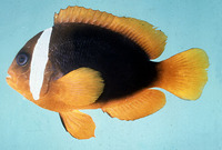 Amphiprion rubrocinctus, Red Anemonefish: aquarium