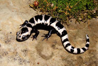 Image of: Ambystoma opacum (marbled salamander)