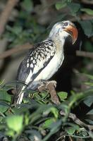 Tockus erythrorhynchus - Red-billed Hornbill