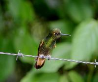 Image of: Boissonneaua flavescens (buff-tailed coronet)