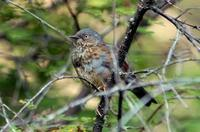 Image of: Prunella immaculata (maroon-backed accentor)