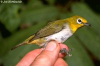 Ashy-bellied White-eye - Zosterops citrinella