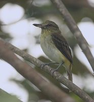 Bright-rumped Attila (Attila spadiceus) photo