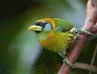Red-headed Barbet - Eubucco bourcierii