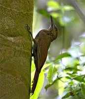 Northern Barred-Woodcreeper - Dendrocolaptes sanctithomae