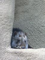 Japanese Serow in the corner Flickr