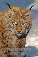 European lynx in snow stock photo