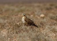 �rnv�k / long-legged buzzard (Buteo rufinus)