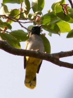 Black-headed Bulbul(Pycnonotus atriceps)
