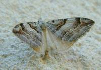Aplocera praeformata - Purple Treble-bar