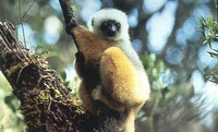 photograph of a diademed sifaka
