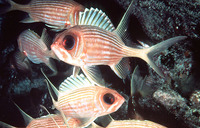 Holocentrus rufus, Longspine squirrelfish: fisheries, aquarium