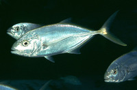 Carangoides bartholomaei, Yellow jack: fisheries, gamefish