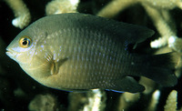 Stegastes nigricans, Dusky farmerfish: fisheries, aquarium