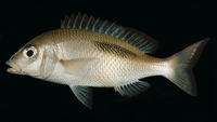 Scolopsis bimaculatus, Thumbprint monocle bream: fisheries