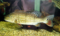 Cichla temensis, Speckled pavon: fisheries, aquaculture, gamefish, aquarium