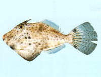 Pseudomonacanthus peroni, Pot-bellied leatherjacket: