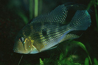 Acarichthys heckelii, Threadfin acara: fisheries, aquarium