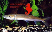 Acestrorhynchus falcirostris, : fisheries, aquarium