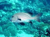 Image of: Plectorhynchus pictus (painted sweetlips)