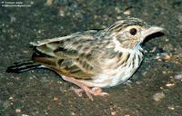Indian Bushlark - Mirafra erythroptera