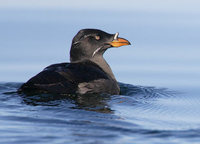 Rhinoceros Auklet (Cerorhinca monocerata) photo